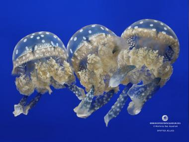 Spotted Jellies at the Monterey Bay Aquarium